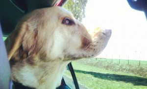 gibson car- heat stroke and dogs