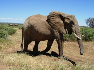 Would you like the memory of an elephant? Photo source: Discovery - pet advice and animal myths from vet nurse hayley