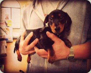 A gorgeous photo from 2013- Klaus the miniature dachshund's first visit to fox valley animal hospital - a veterinary clinic in Sydney