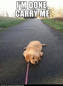 tired-golden-retriever-puppy