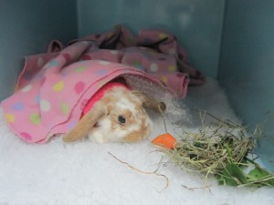 Poppy the pet rabbit recovering from her de-sexing surgery with Sydney pet vet Fox Valley Animal Hospital