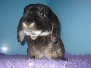 Peter rabbit at sydney pet vet fox valley animal hospital