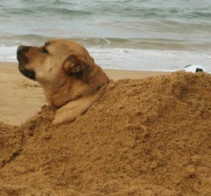 Enjoying a nice dig and play in the sand at Umina Off leash beach