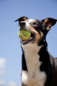 Sydney Veterinary clinics advise balls instead of sticks