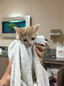 Bathing and touch- two important things for rescue kitten and vet nurse alike!