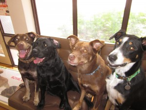 Holly hanging out with her friends after her surgery. Toby, Holly, Enzo and Rocky (left-right)