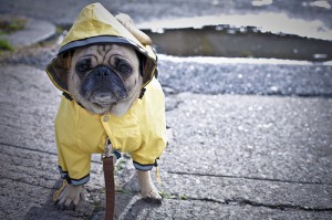 Is your pooch happy with walking on rainy days? Photo credit: Stephanie Lyn