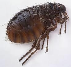 veterinarians versus fleas
