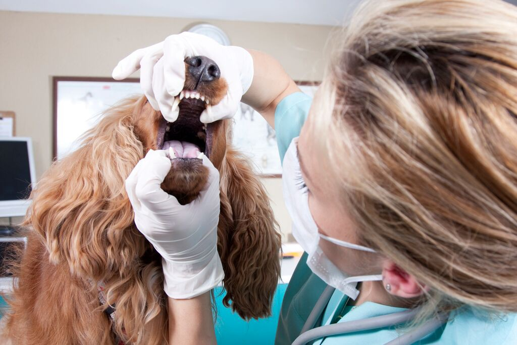 brushing your pet's teeth - online vet advice from fox valley animal hospital wahroonga