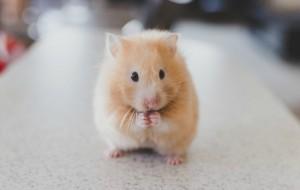 Pocket pets need healthy treats too.  Photo by Ricky Kharawala