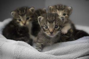 feline pregnancy
