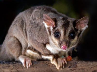 australian wildlife - a possum