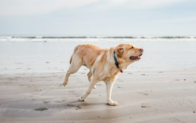labrador happy at dog beach