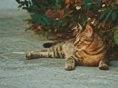 family cat in the garden lying on concrete in front of bush