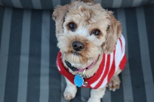 shy dog looking up at owner wearing jumper