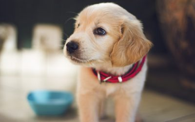 Photo of a new puppy for a north shore veterinary hospital blog on new puppy naming