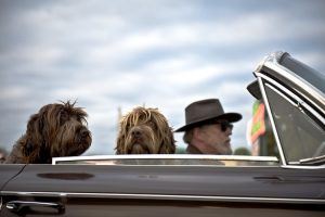 An older man is driving in his convertible with two shaggy dogs along for the ride. They could be on their way to an animal veterinary clinic or out for an adventure.