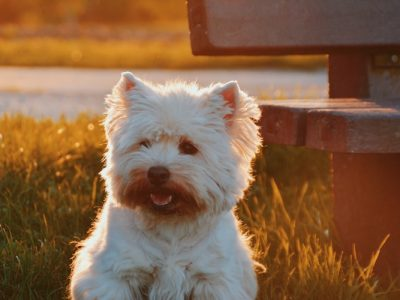 A cute small white dog sits in a field. It's attached to an article on the things to weigh up as a senior debating owning a pet.