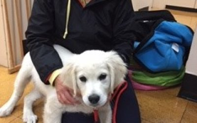 A lovely snow white labrador is getting ready for puppy preschool in Wahroonga at Fox Valley Animal Hospital.